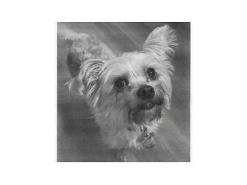YORKIE MALE Leo all shots fully potty trained all shots very calm  sweet a little nervous a