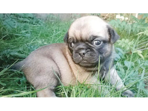 PUG PUPPIES Ready on Halloween fawn color 3-M 3-F mom  dad on site NAKC registered 800