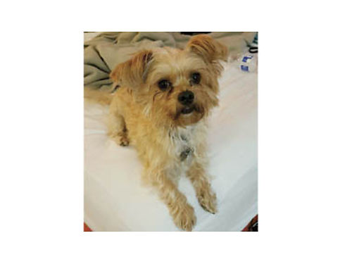 YORKIE CHIHUAHUA MALE Leo all shots UTD fully pottykennel trained loves everybody About 3 ye