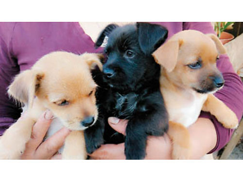 YORKIECHIHUAHUA Mix Puppies 4-M 1-F Ready to go 1st 2 vaccinations done perfect pups for your