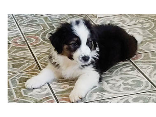 AUSTRALIAN SHEPHERD PUPPIES For sale Females 650 and Male 600 se vende Australian shepherd perri