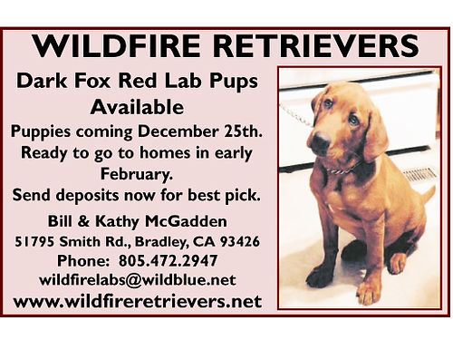 WILDFIRE RETRIEVERS - Dark Fox Red Lab Pups available Puppies coming 1225 ready for new homes mid