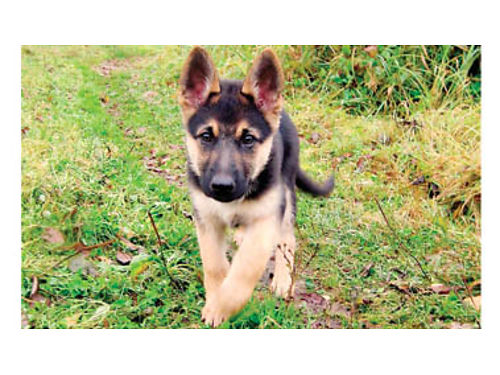 GERMAN SHEPHERD PUPS DOB 7-1-18 Beautiful black and tan military breed father 4 Females 500e