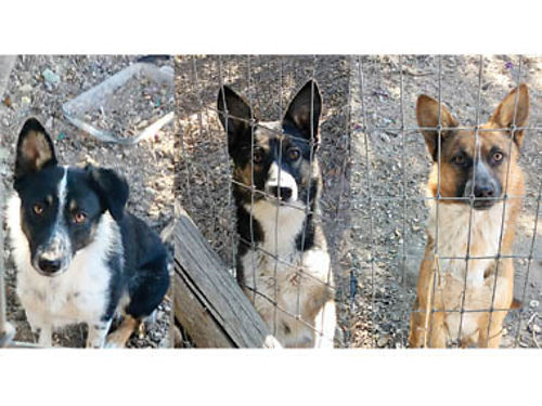 BORDER COLLIE KELPI CROSS Pups 1 year old ready to work Leffew Ranch Cow Dogs 200 805-931-0541