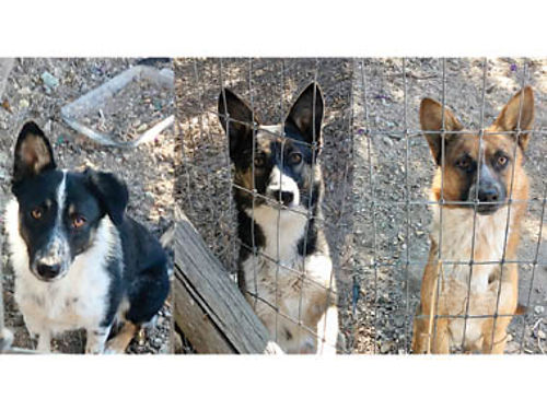 BORDER COLLIEKELPI CROSS Pups 1 year old ready to work Leffew Ranch Cow Dogs 200 805-931-0541