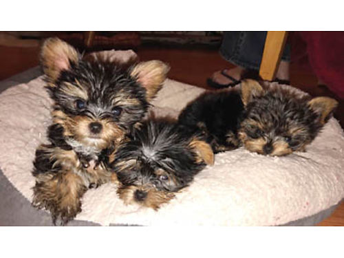 YORKIE PUPPIES 9 weeks old 1-12lbs ready to go 1st vaccine done wormed Perfect pups for your