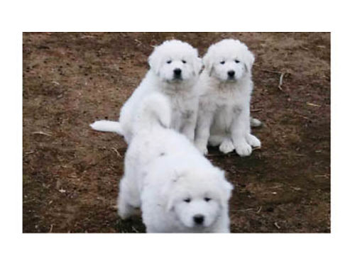 LIVESTOCK GUARDIANS Purebred Great Pyrenees puppies DOB 11-25-17 ready now 4-M 500ea No deliv