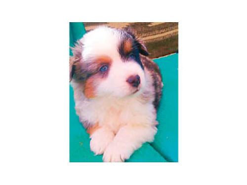ASDR REG MINIATURE AUSTRALIAN Shepherd puppies 8 weeks old tails and dewclaws done ready to go