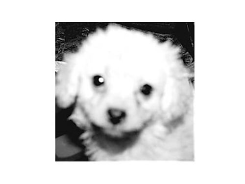 HOLIDAY PUPPY Cute Boy Malti-poo First Shot given Born March 4th De-wormed Asking 360 805-82