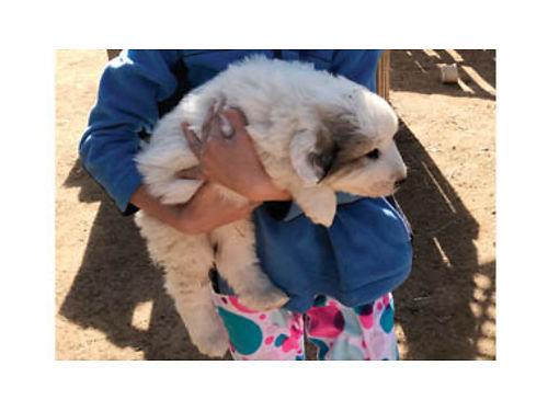 PUREBRED GREAT PYRENEES PUPPIES - Ready to go DOB 12-22-17 Parents on site Great working dogs for