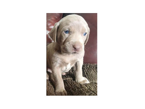 WEIMARANER PUPPIES 2-Males 4-Females tails docked both parents on site Ready for new homes 3-3