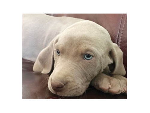 WEIMARANER PUPPIES 1-Male -Female tails docked 1st shots both parents on site Available now