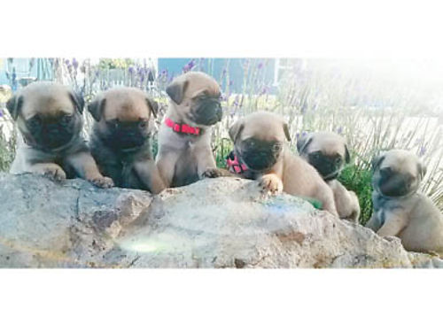 PUREBRED PUG PUPPIES 3-M 3-F mom  dad on site black and fawn available 700 Call or text