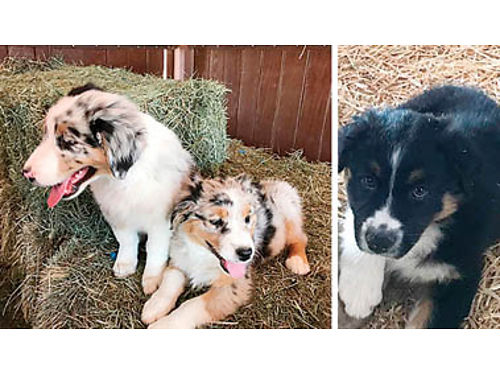 AKCASCA AUSTRALIAN SHEPHERD PUPPIES For Sale Blue Merles Black Tris Males 2nd shots  worming R