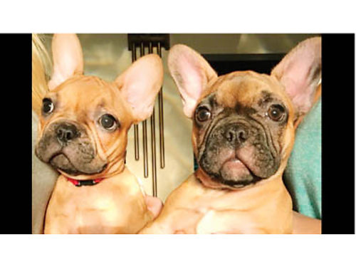 AKC FRENCH BULLDOG PUPPIES DOB 1-5-18 all shots microchipped 2-Males Reduced price to good home