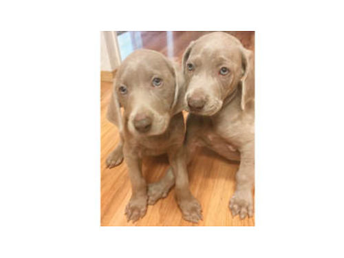 WEIMARANER PUPPIES 2-Males- 600 2-Females- 500 tails docked 1st shots 1st worming both paren
