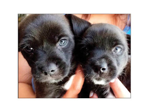 CHIHUAHUAYORKIE TERRIER MIX Puppies Will be ready for their new homes by July 3rd 1F3M 225 each
