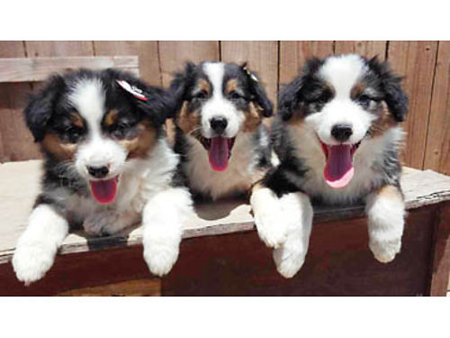 AUSTRALIAN SHEPHERDS ready for a new home Black Tri puppies available with their first set of shots