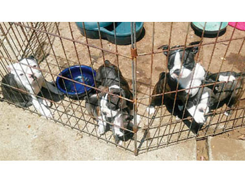 BOSTON TERRIOR PUPPIES Shots and dewormed 5-F 1200ea and 3-M 1100ea Purebred 2 F ready for