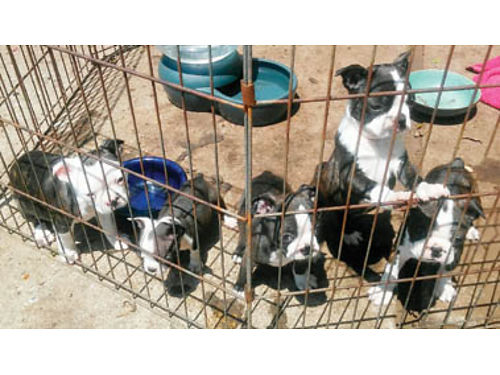 BOSTON TERRIOR PUPPIES Shots and dewormed 5-F 1200ea and 3-M 1100ea Purebred 2-F ready for