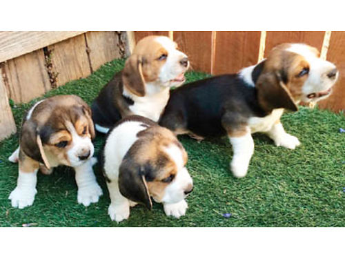 PUREBRED BEAGLES Beautiful puppies need a new family Ready July 5th 2-M 2-F 650ea obo Parent