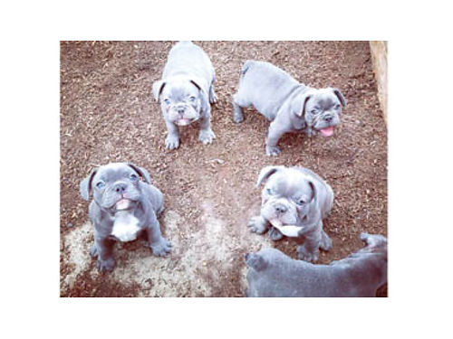 BABY BLUE FRENCH BULLDOG DOB 5-12-18 Ready Now 1st shots dewormed good with kids parents on pr