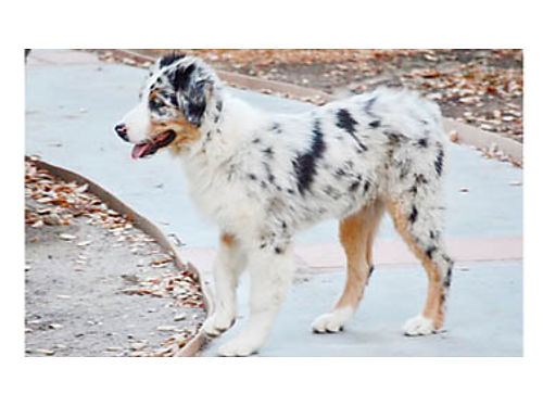 REG AUSTRALIAN SHEPHERDS 4 mos old male pups all puppy shots  worming given obedience started s