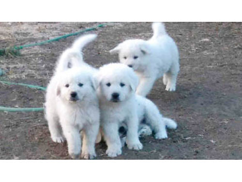 LIVESTOCK GUARDIANS Purebred Great Pyrenees Puppies Ready Now 1st shots 3-M 250ea No deliver