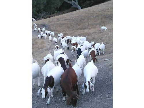 BOER GOATS 150ea Cash only no delivery 805-291-9927 or 805-458-5344