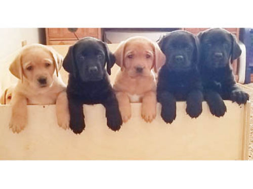 AKC ENGLISH LABS yellow black and fox red 1-Yellow male and the rest are female ready 1st week