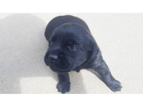 2 FEMALE BLACK LAB PUPPIES For Sale ready end of October 600 each purebred pups CallText