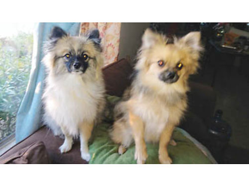 EARLY CHRISTMAS SPECIAL Purebred Pomeranian Puppies Lulu  Dukie born 613 Potty  Puppy training