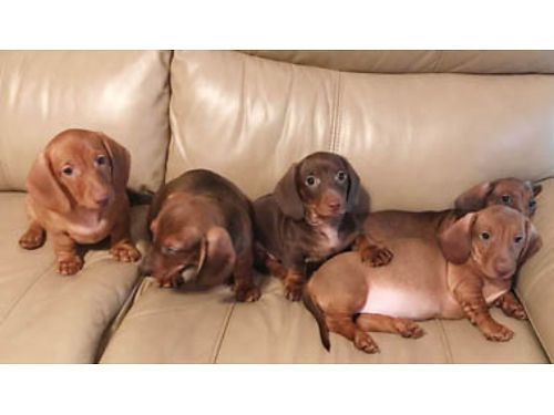 DACHSUND PUPPIES FOR CHRISTMAS DOB 92718 Ready to go 1st shots 4-Males 650 each Grandmother