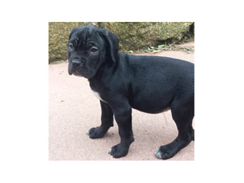 CANE CORSO ITALIAN MASTIFF Puppies 2 litters DOB 12-14  12-24 Family raised socialized indoors