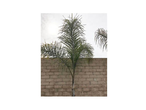10 FOOT QUEEN PALM TREE FOR SALE! ...