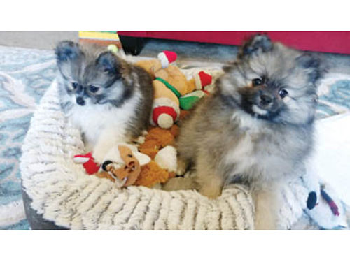 TEDDY BEAR POMS 1 male wolfsable 2 black white females 800 each Ready for new homes 805-441-43