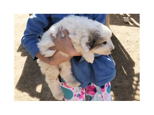 PUREBRED GREAT PYRENEES PUPPIES - Ready to go Parents on site Great working dogs for livestock 80