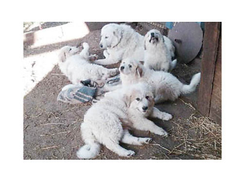GREAT PYRENEES DOGS ranch raised lives with livestock Both parents on ranch ready to go Shots d
