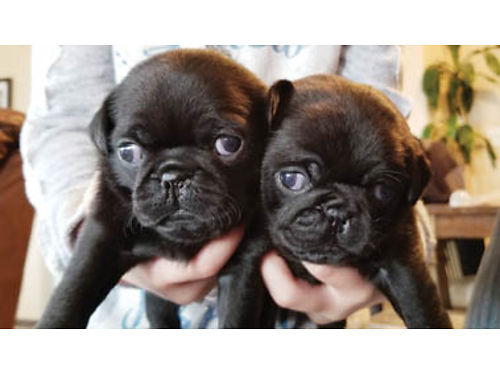 PUREBRED PUG PUPPIES M  F available mom  dad on site black and fawn available 700-800 Call o