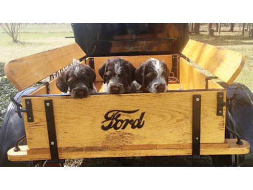 WIREHAIRED POINTING GRIFFON Ready now Can be registered AKC Dam on site 3 females available Fro