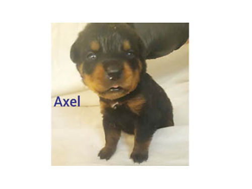 AKC IMPORTED GERMAN ROTTWEILERS - Good temperament champion bloodline wgreat p