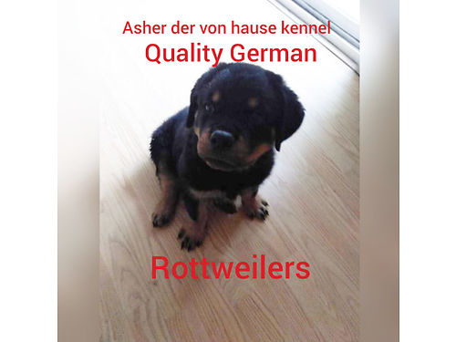 AKC IMPORTED GERMAN ROTTWEILERS - GOOD TEMPERAMENT, ...