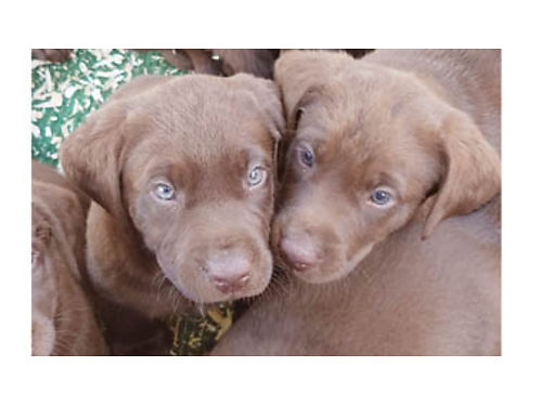 CHOCOLATE LABS 800 Yellow Female 500 Ready now Excellent family  hunting