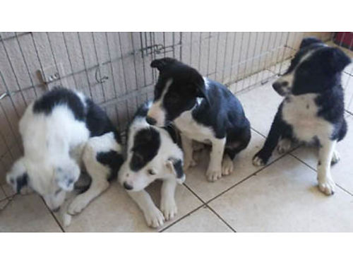 BORDER COLLIE PUPPIES 3 females 1 male Theyve had their 1st  2nd shots 350-400 Call Mark 80