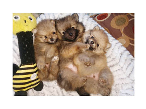 POMERANIANS - Three Male Red Merle and Sable Pomeranian puppies 1200 Deposit of 500 to hold your