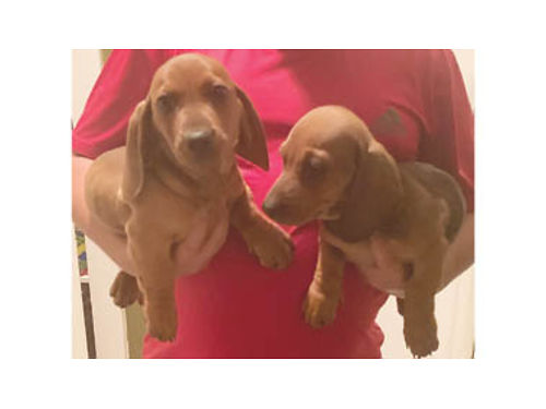 ADORABLE Dachshund Puppies Pure bred 1 boy 1 girl current shots dewormed very playful and heal