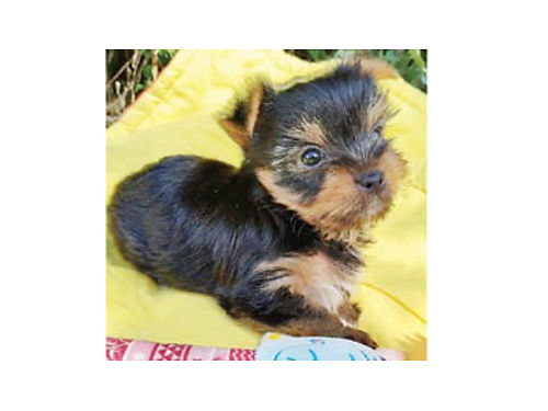CHOCOLATE  BLACK YORKIE TERRIER Males So Cute Need new homes 1000 with CKC Reg 800 without P