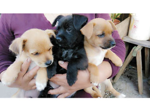 YORKIECHIHUAHUA Mix Puppies photo from last litter perfect pups for your family Parents on site