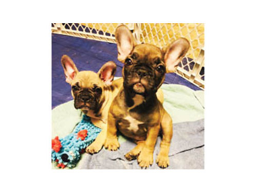 FRENCH BULLDOG PUPPIES DOB 8119 ready for forever home by Oct full AKC 3000 - 3500 awesome
