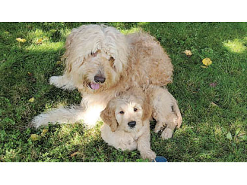 MINI-GOLDENDOODLE PUPPY teddy bear blocky build non-shedding hypo-allergenic Family raised ve